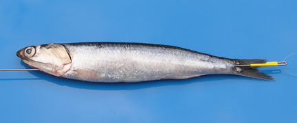 Anchovy hook up salmon